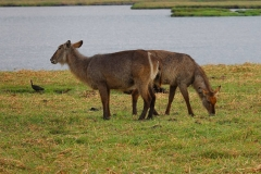 Botswana, Chobe-Fluss, Wasserböcke
