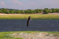 Botswana, Chobe-Fluss, Braunmantel-Scherenschnabel im Flug