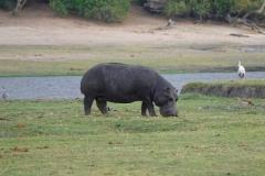 Botswana, Chobe-Fluss, Flusspferd