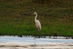 Botswana, Chobe-Fluss, Silberreiher