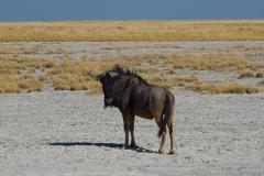 Botswana, Nata Vogelschutzzentrum, Streifengnu