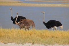 Botswana, Nata Vogelschutzzentrum, Afrikanische Strauße