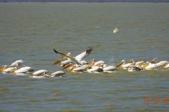 Botswana, Nata Vogelschutzzentrum, Pelikane