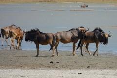 Botswana, Nata Vogelschutzzentrum, Streifengnus