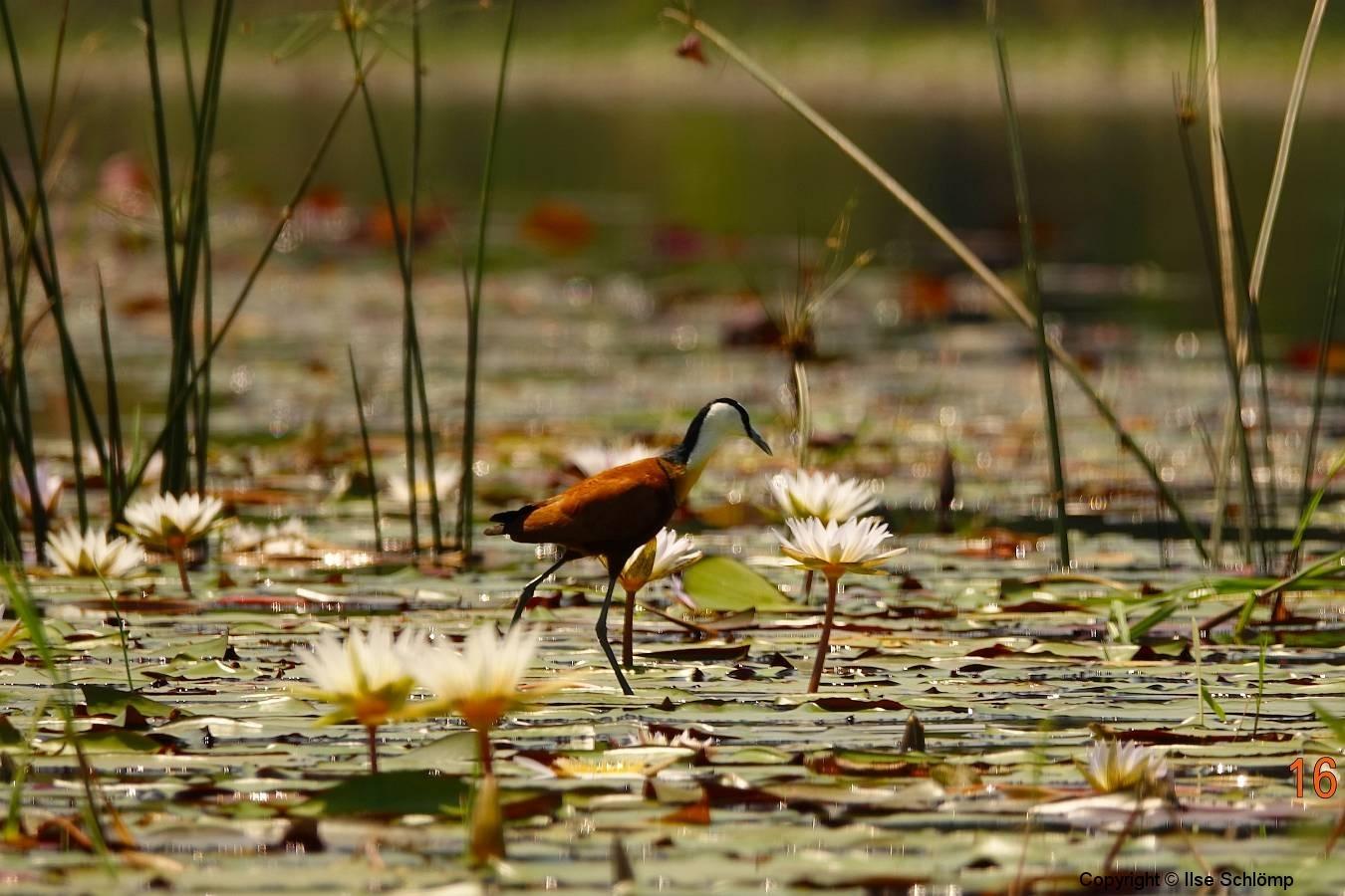 Botswana, Okavango Delta, Blaustirn-Blatthühnchen