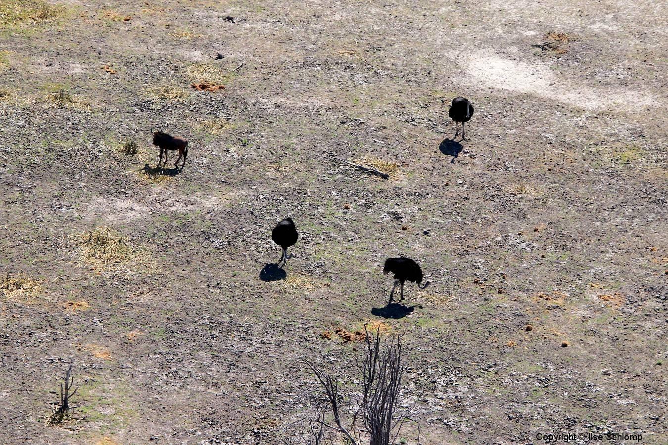 Botswana, Okavango Delta, Afrikanische Strauße