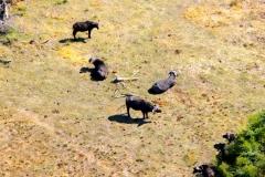 Botswana, Okavango Delta, Afrikanische Büffel