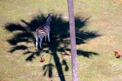 Botswana, Okavango Delta, Zebra im Palmenschatten
