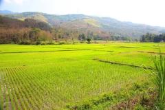 Laos, Reisfeld