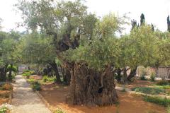 Israel, Jerusalem, Garten Gethsemani, alte Olivenbäume