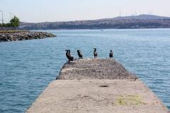 Istanbul, Kormorane am Bosporus