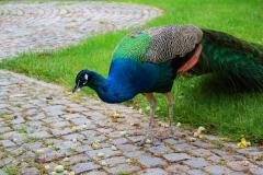 Istanbul, Blauer Pfau im Dolmabahce-Palast