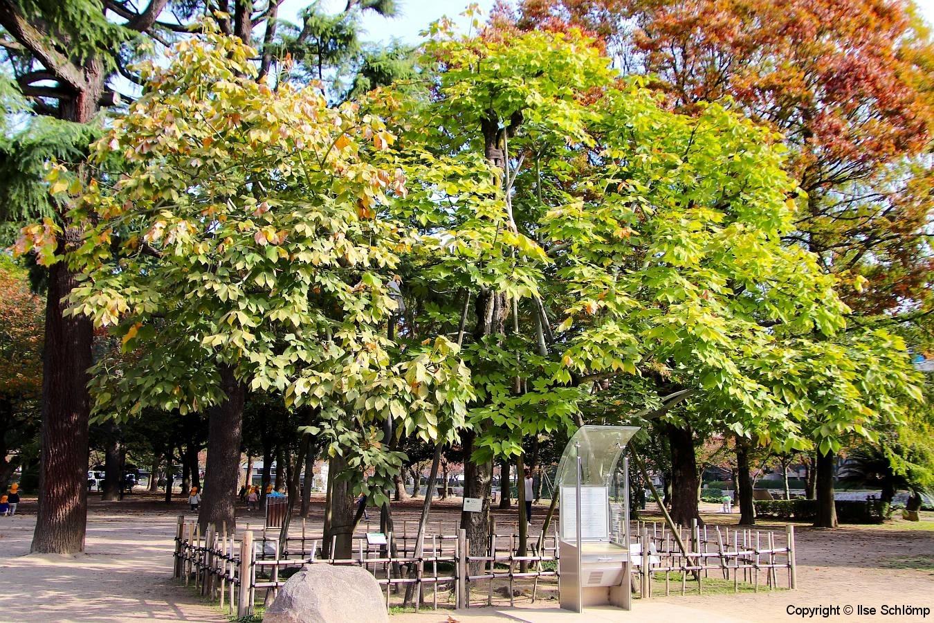 Japan, Hiroshima, Friedenspark, Phönixbäume  (Aogiri-Bäume)
