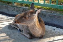 Japan, Nara, Nara-Park, Sikahirsch