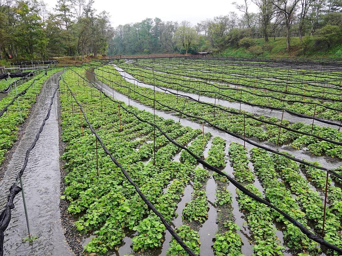 Japan, Hotaka, Daio Wasabi Farm
