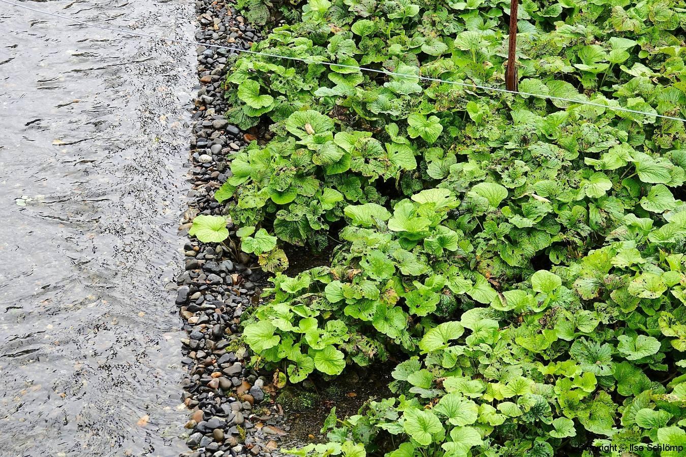 Japan, Hotaka, Wasabi-Pflanze
