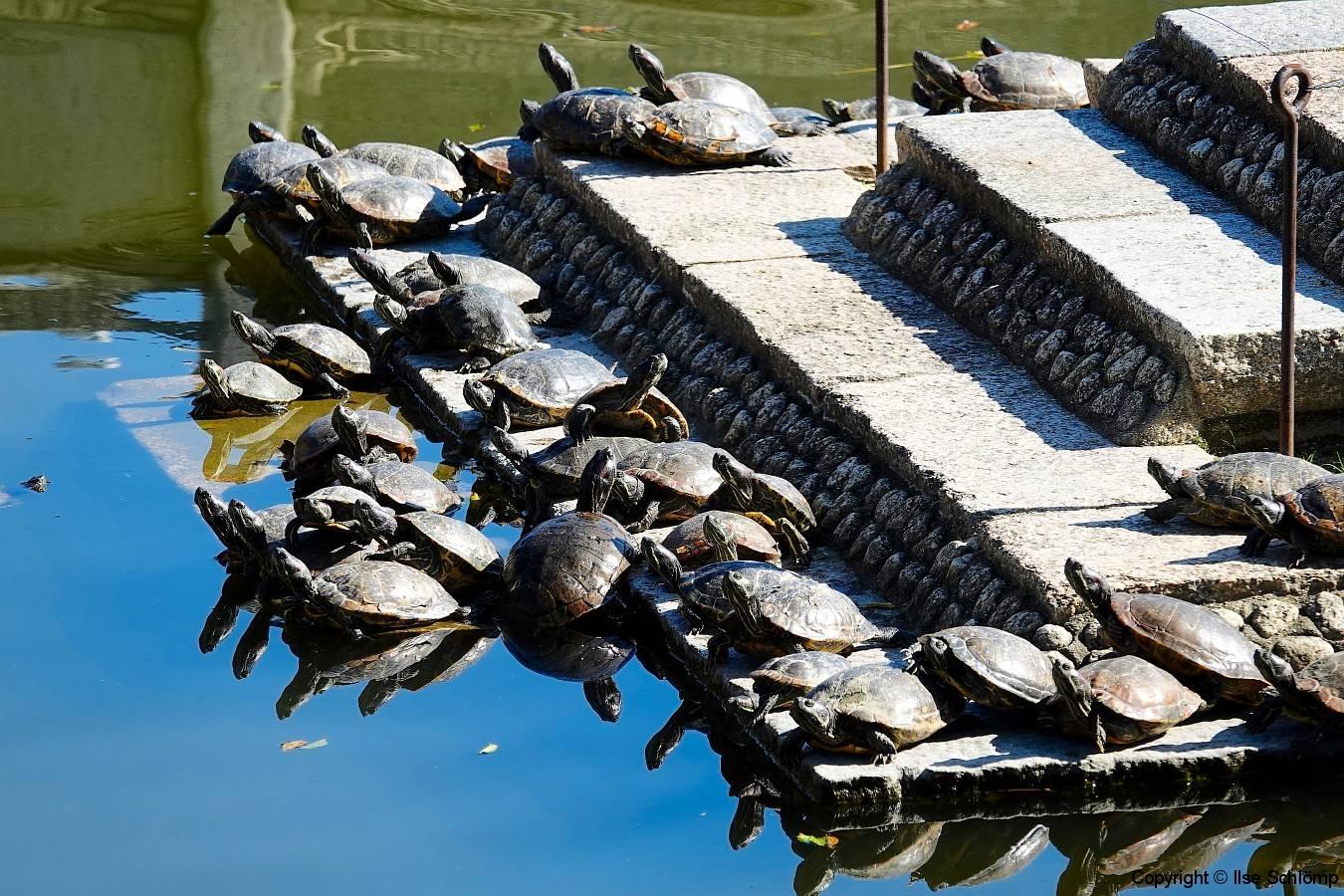 Japan, Osaka, Schildkröten am Shitenno-ji Tempel