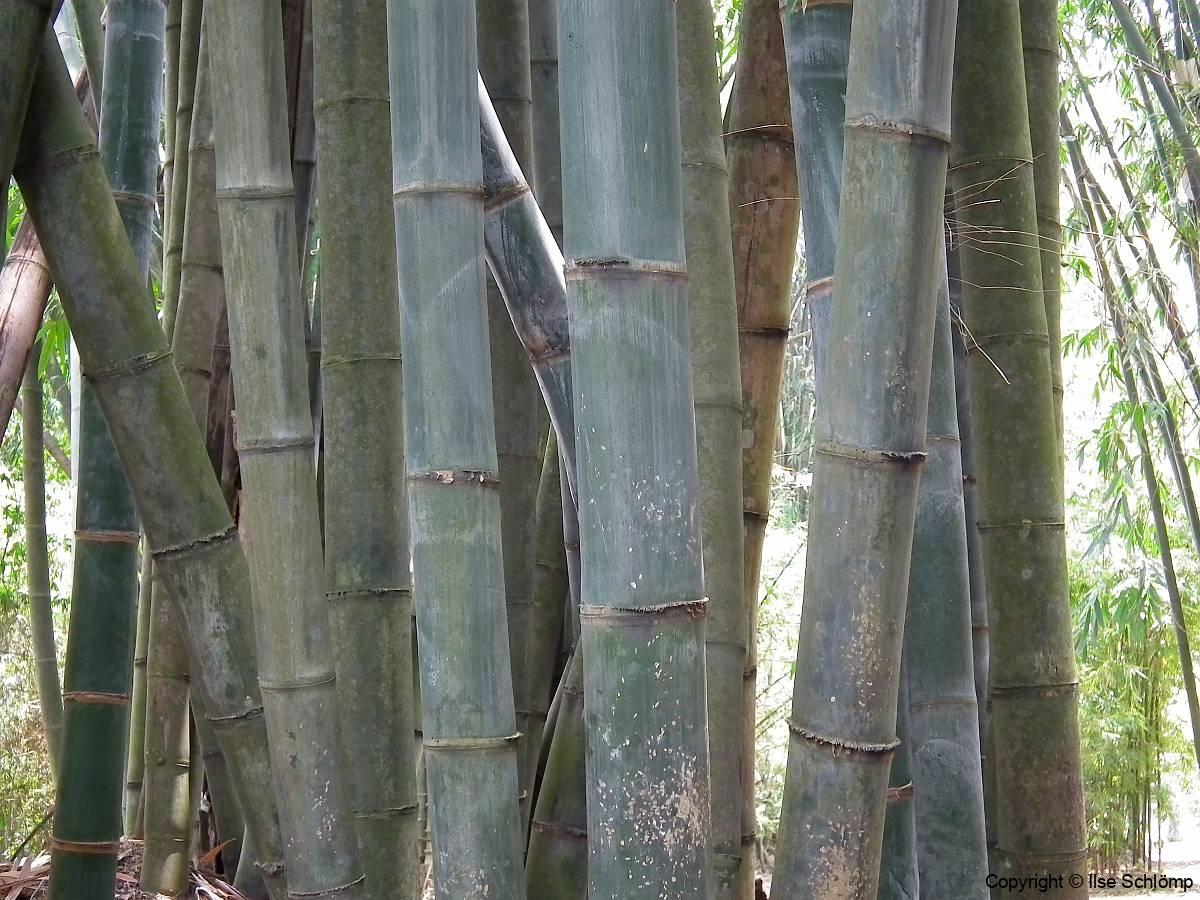 Java, Bogor, Botanischer Garten, Bambus