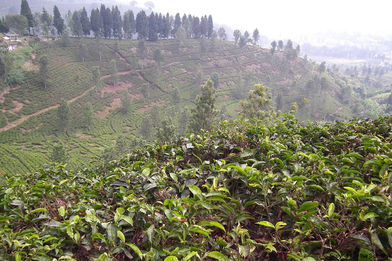 Java, Puncak Hochland, Teepflanzen
