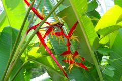 Java, Bogor, Botanischer Garten, Heliconie