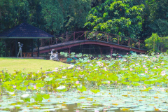 Java, Bogor, Botanischer Garten, Lotus