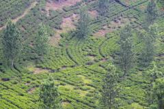 Java, Puncak Hochland, Teeplantagen