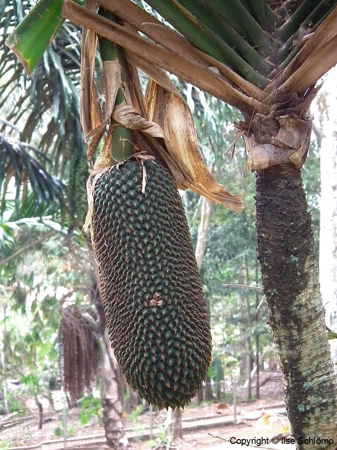 Java, Cangkuang-See, Schraubenbaum