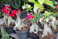 Java, Malang, Birds and Flower Market, Adenium