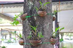 Java, Yogjakarta, Orchideen