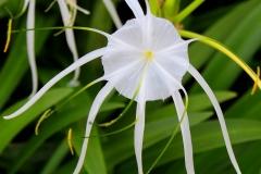 Khao Lak, Weiße Hakenlilie