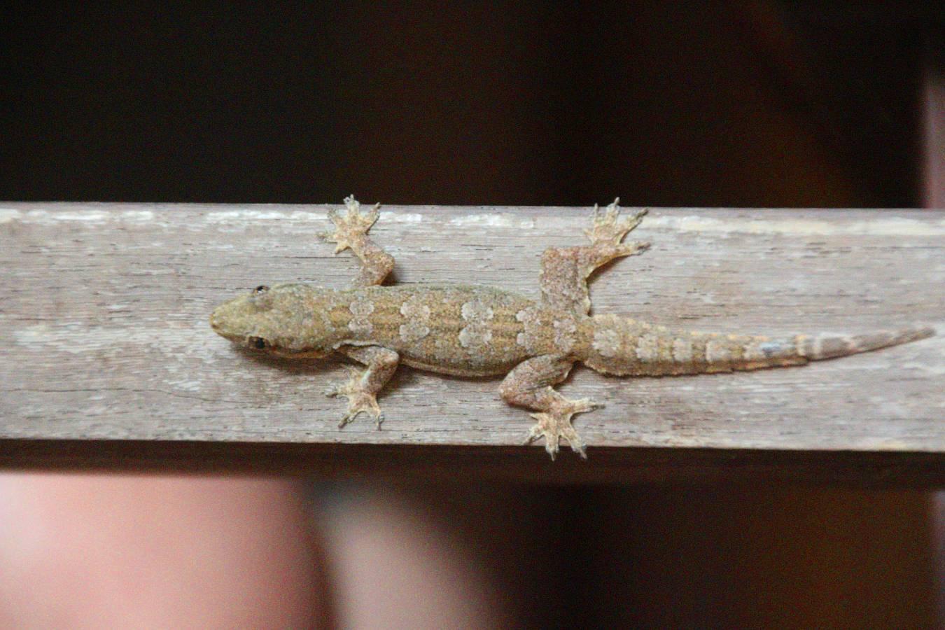 Laos, Vientiane, Gecko