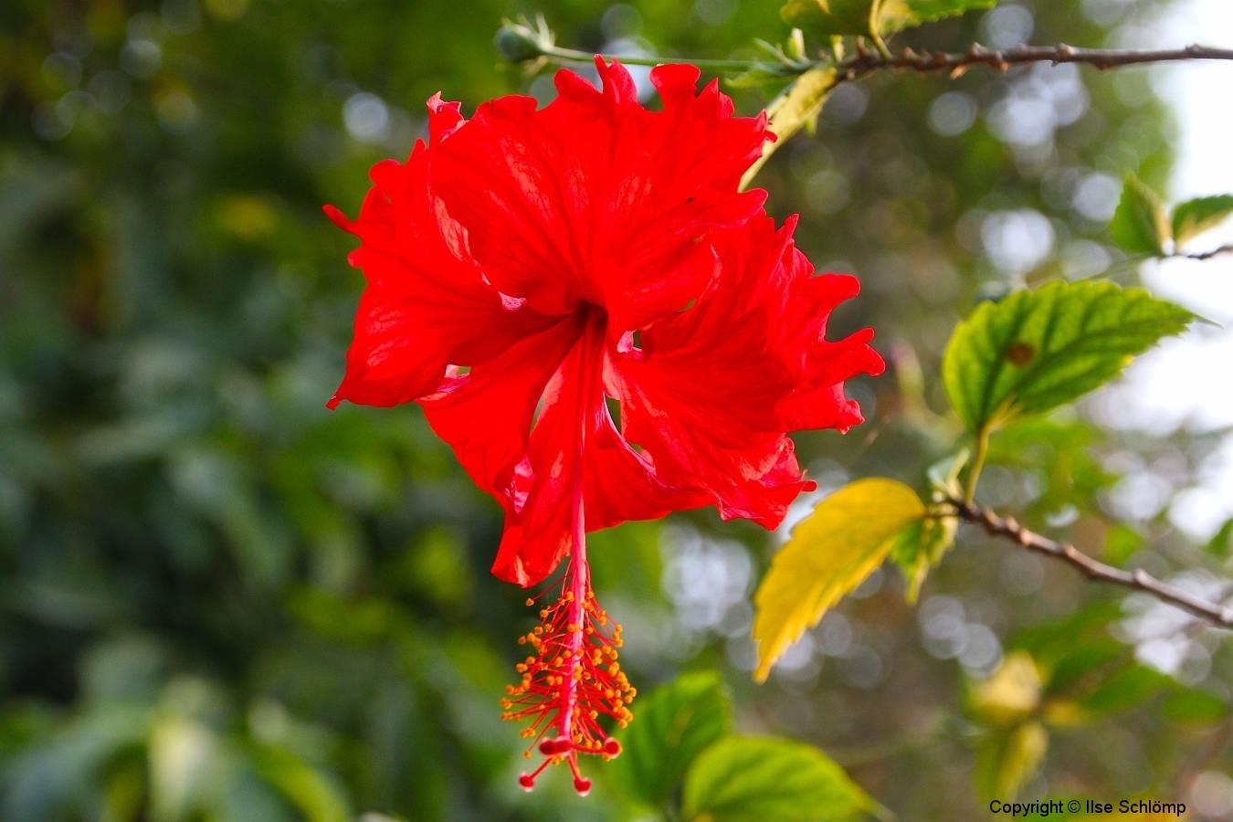 Laos, Luang Prabang, My Dream Boutique Resort, Hibiskusblüte