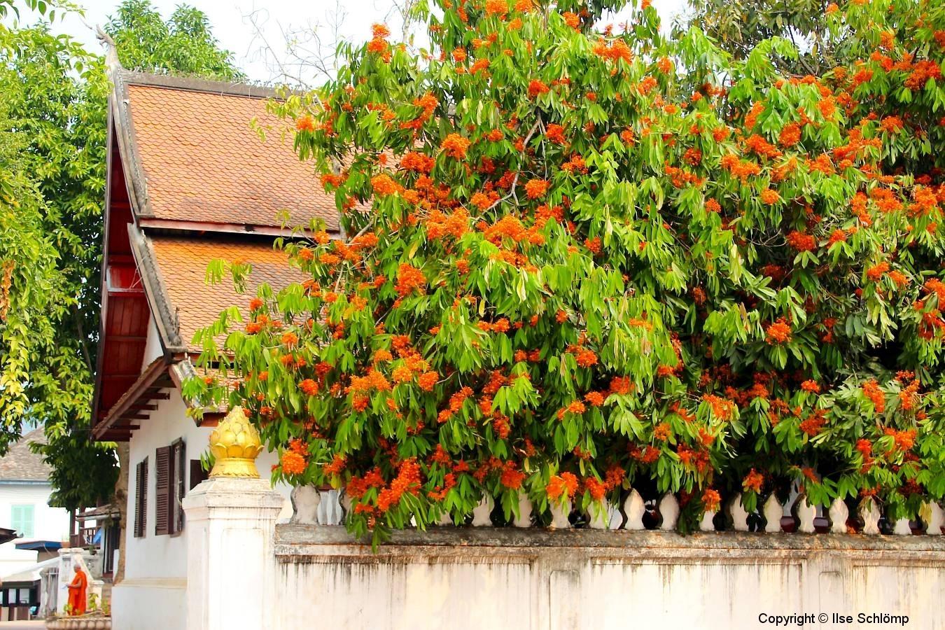 Laos, Luang Prabang, Asokabaum