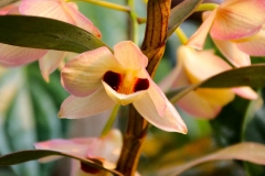 Laos, Luang Prabang, My Dream Boutique Resort, Orchidee Dendrobium