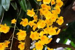 Laos, Luang Prabang, Orchidee Dendrobium Lindleyi