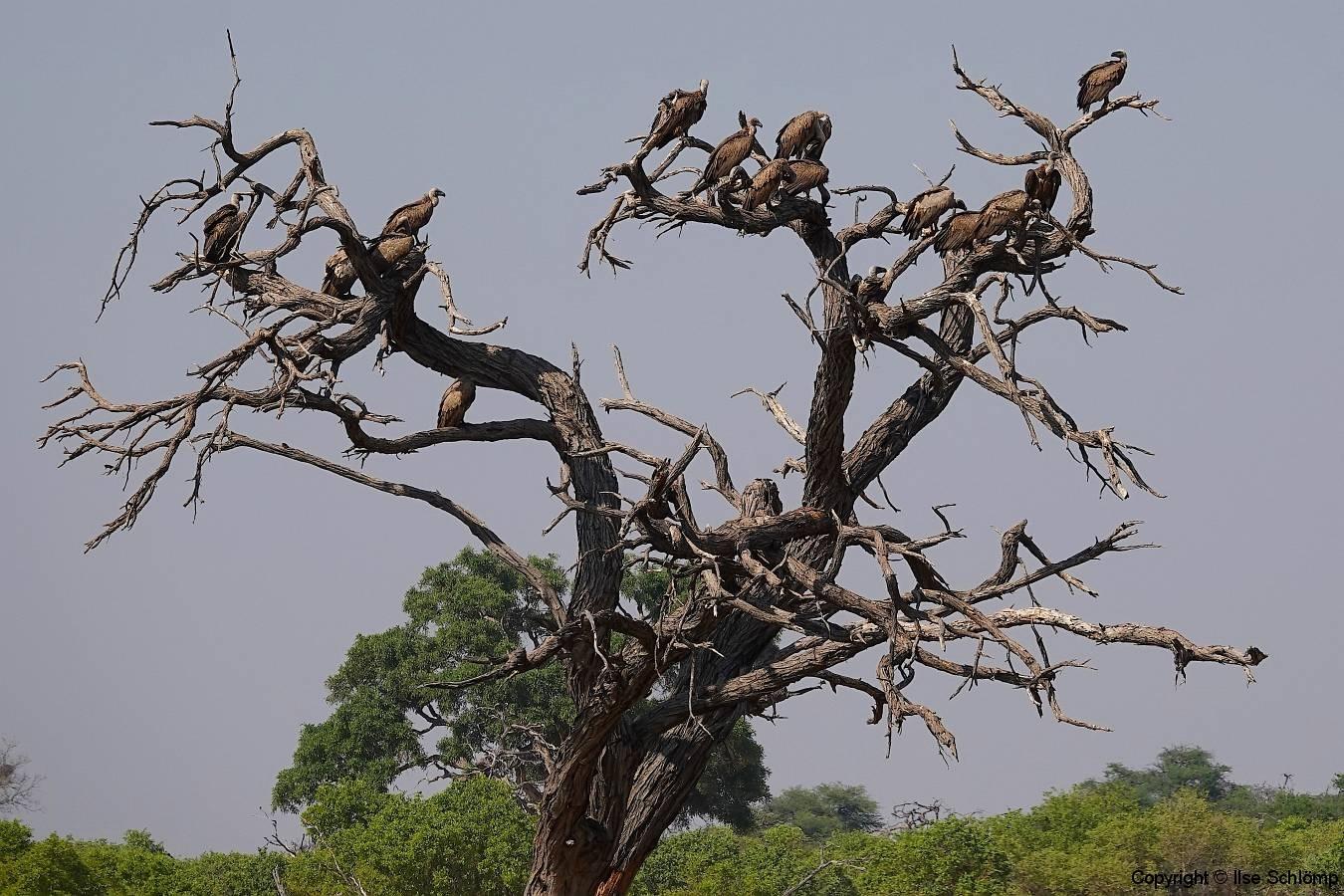 Botswana, Moremi Nationalpark, Geier