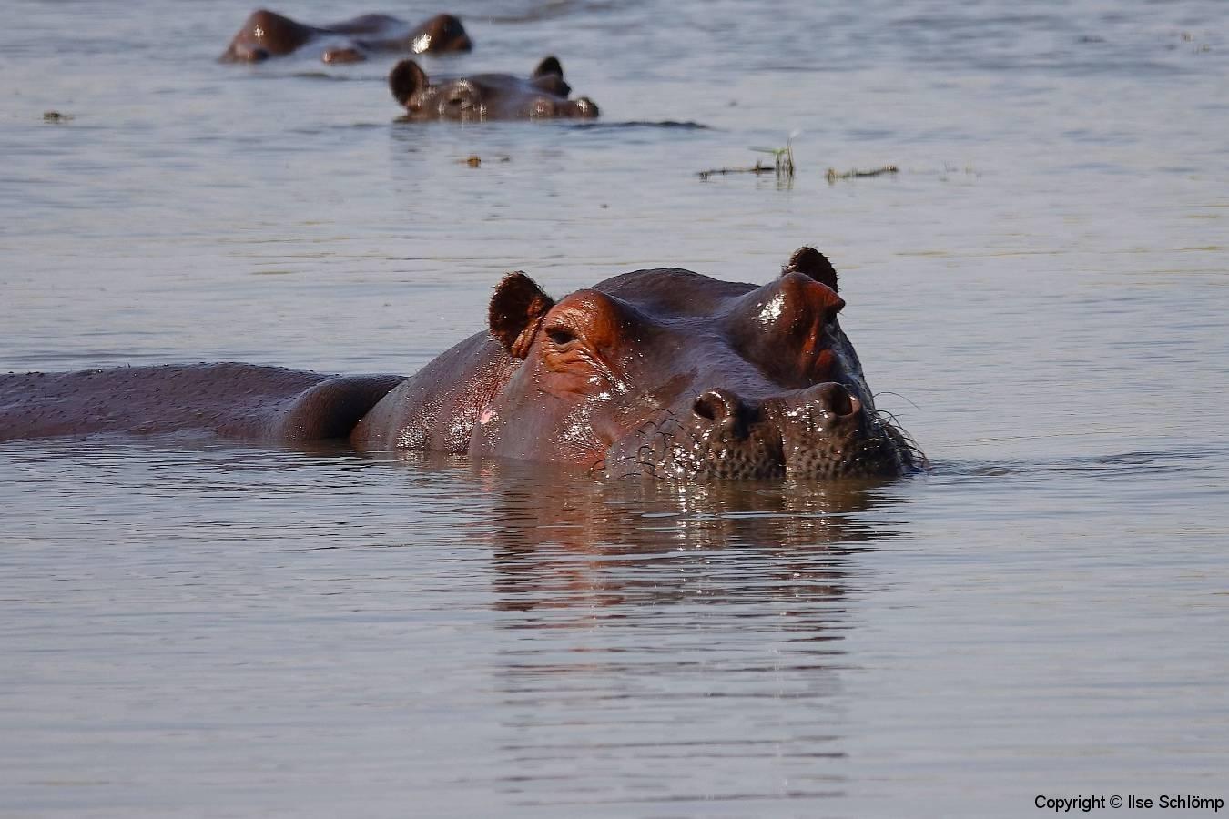 Botswana, Moremi Nationalpark, Flusspferd