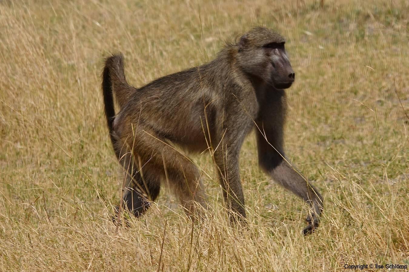 Botswana, Moremi Nationalpark, Pavian