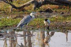Botswana, Moremi Nationalpark, Schieferreiher