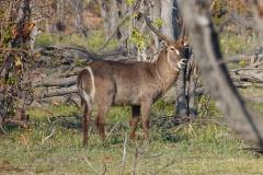 Botswana, Moremi Nationalpark, Wasserbock