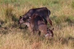 Botswana, Moremi Nationalpark, Wasserböcke