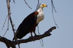 Botswana, Moremi Nationalpark, Schreiseeadler