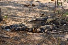Botswana, Moremi Nationalpark, afrikanische Wildhunde