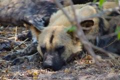 Botswana, Moremi Nationalpark, afrikanischer Wildhund