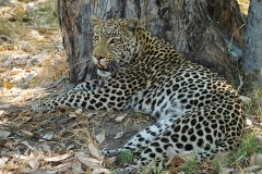 Botswana, Moremi Nationalpark, Leopard