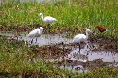 Botswana, Moremi Nationalpark, Reiher