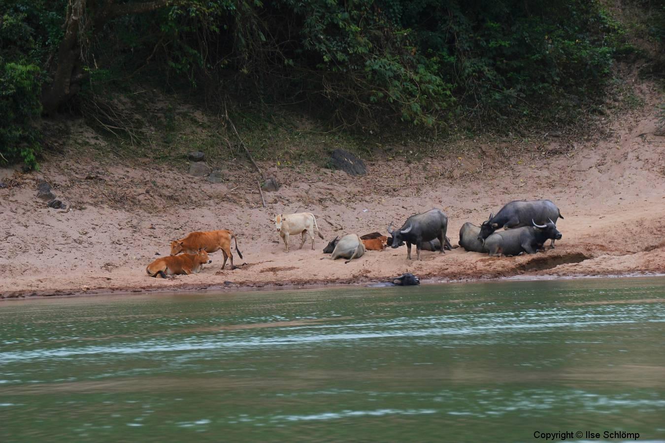 Laos, Nam Ou Fluss, Wasserbüffel