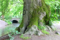 München, Englischer Garten, Alter Baum