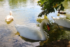 München, Schlosspark Nymphenburg, Schwäne im Badenburger See