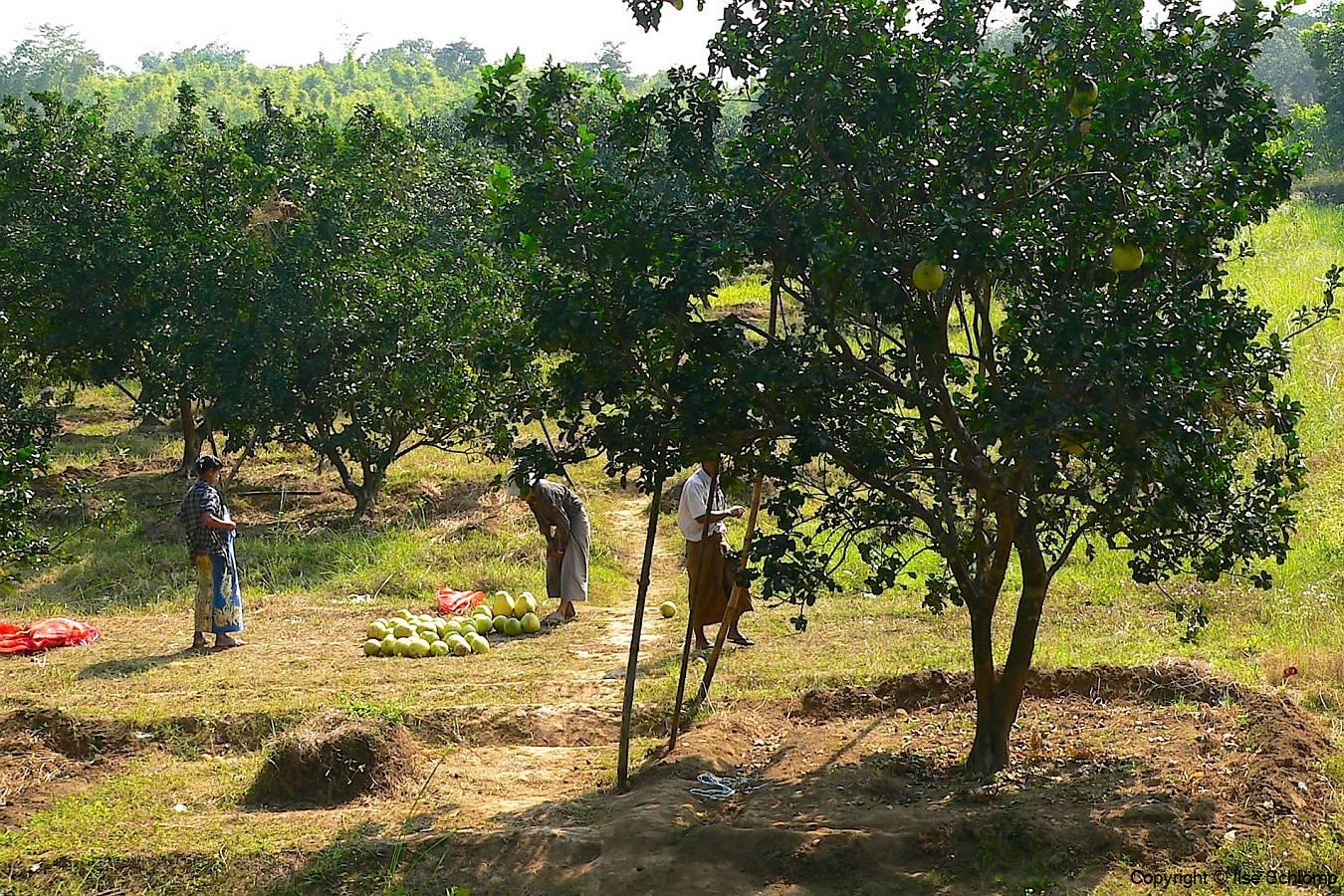 Myanmar, Unterwegs auf dem Weg nach Bago, Pomeloernte